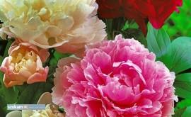 Ścinanie kwiatów piwonii bez wiekówki